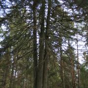 Laumių miško keturkamienė eglė