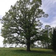 Mediškių ąžuolas